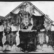 Cover image of [Bear hides on barn, Jumping Pound, Alberta(?)]