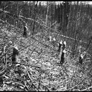 Cover image of Stumps of trees cut by beaver