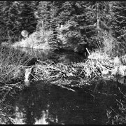 Cover image of Beaver dam