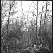Cover image of Coyote lying in bush