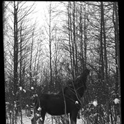 Cover image of Moose feeding on tree