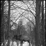 Cover image of Bull elk