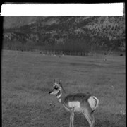 Cover image of Banff Animal Paddock, antelope