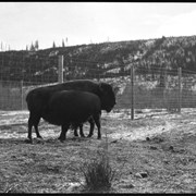 Cover image of Banff Animal Paddock, buffalo