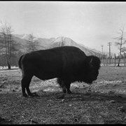 Cover image of Banff Animal Paddock, buffalo, includes Sir Donald?