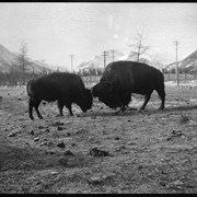 Cover image of Banff Animal Paddock, buffalo fighting