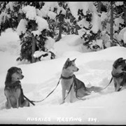 Cover image of 239. Huskies resting, Ike Mills