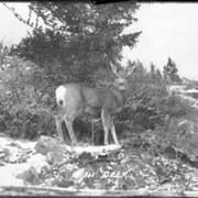 Cover image of 41. Deer