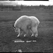 Cover image of 338. Mountain goat