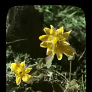 Cover image of Arnica