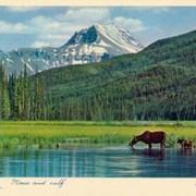 Cover image of Moose and calf