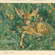Cover image of Deer Fawn