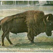 Cover image of Buffalo, Banff, Canadian Rockies. The Monarch of the Herd