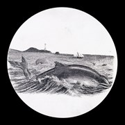 Cover image of Porpoise
