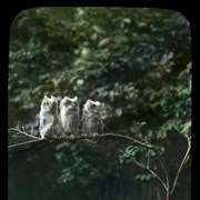Cover image of [Baby owls]