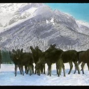 Cover image of Baby Moose in Banff Nat. [National] Park