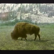Cover image of Banff [buffalo in Animal Paddock, Banff]