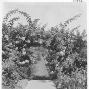 Cover image of An arbor of rambler roses / 27925