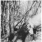 Cover image of Canada. Beaver felling a tree / CN139