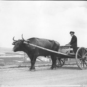 "Cover image of On the Acadian shore. An old fisherman, descendant of the original Acadian settler in the Land of Evangeline, driving his ox-cart along the road on Nova Scotia's ""French Shore"" / CN279"