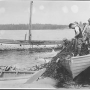 Cover image of Canada. Nova Scotia. Hubbards. Tuna fishing at Hubbard's, method of hauling in spiller net containing fish / CN226