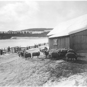 Cover image of Canada. Quebec Province. The long quiet winters in the Murray Bay country are no longer the exclusive property of the French Canadian habitant farmer for the sporting possibilities of the country have been discovered and now Murray Bay has become one of the leading winter resorts of Canada. Even the sheep gaze with calm astonish