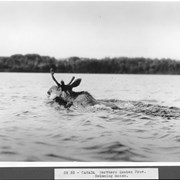Cover image of Canada. Northern Quebec Prov. Swimming moose / CN33