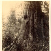 Cover image of Cedar trees in Stanley Park, about 47 ft. circumference