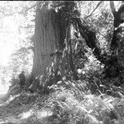 Cover image of 1 Big Cedar, Stanley Park, Vancouver (No.34) 7/17/97