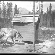 Cover image of Banff, prairie wolf