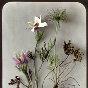 Cover image of Anemone des prairies / Mary M. Vaux