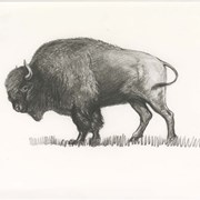 Cover image of Buffalo Badge Sketch
