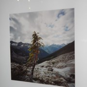 Cover image of Lone Tree Below Illecillewaet Glacier