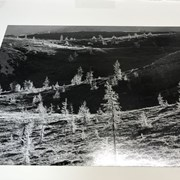 Cover image of Larch trees, Wonder Pass