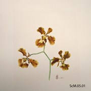 Cover image of Oncideum forbesii / Brasilidium forbesii? (Wildflower)