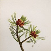 Cover image of Pinus albicaulis (White Pine)