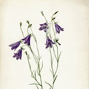 Cover image of Campanula rotundifolia (Harebells)