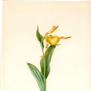Cover image of Cypripedium calceolus (Yellow Lady's Slipper)