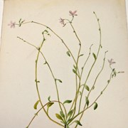 Cover image of Montia (Claytonia) parvifolia (Small-leaved Springbeauty)