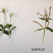 Cover image of Moneses uniflora (blue one) Epilobium palustre (pink one)