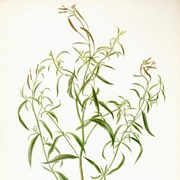 Cover image of Alpine Flower (Epilobium palustre or Epilobium ciliatum?)