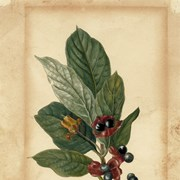 Cover image of Lonicera  involucrata (Bracted Honeysuckle/Twinberry)