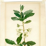 Cover image of Rhododendron albifloriem (White-flowered Rhododendron)